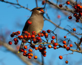 Chesapeake City Birds