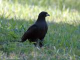 Great Black Hawk: Buteogallus urubitinga