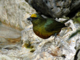 male Olive-backed Euphonia