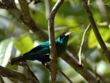 male Green Honeycreeper