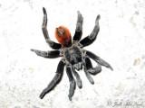 Brachypelma vagans Red-rump Tarantula
