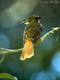 Royal Flycatcher: Onychorhynchus coronatus