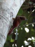 Northern Barred Woodcreeper: Dendrocolaptes sanctithomae