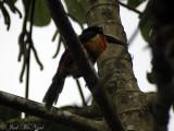 Family Ramphastidae: Collared Aracari (Pteroglossus torquatus)