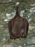 Bat sp.