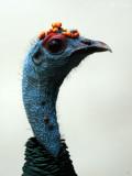 Ocellated Turkey: Meleagris ocellata