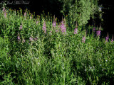 Fireweed with Western Coneflower: Rudbeckia occidentalis