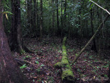forest near Triuris brevistylis