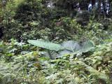 Roadside vegetation near Triuris brevistylis habitat