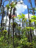 overstory of Lacandonia schismatica habitat