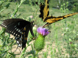 Spicebush and Eastern Tiger Swallowtail