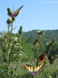 Eastern Tiger and Spicebush Swallowtails, Great Spangled Fritillary