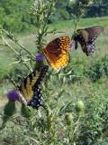 Eastern Tiger Swallowtail, Great Spangled Fritillary, & Spicebush Swallowtail