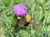 Zabulon Skipper & Hummingbird Clearwing moth
