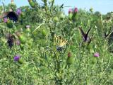 Spicebush Swallowtails, Eastern Tiger Swallowtail, & Hummingbird Clearwing