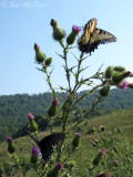 Eastern Tiger and Spicebush Swallowtail