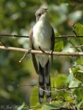 Cuckoos & relatives