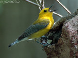 Prothonotary Warblers: May 2008