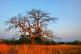 Baobab at Dande (2)