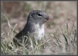 Franklin's Ground-Squirrel