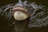 Aligator-Gatorland.jpg