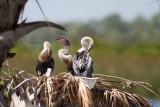 Anhinja Babies-Viera Wetlands.jpg