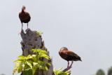 Black Bellied Whistling Duck Pair-Viera Wetlands.jpg