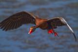 Black Bellied Whistling Duck-Viera Wetlands.jpg