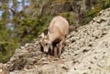 Big Horn Sheep 3 (17).jpg