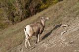 Big Horn Sheep 3 (5).jpg