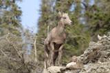 Big Horn Sheep 3 (7).jpg