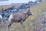 Big Horn Sheep 5 (26).jpg