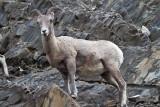 Big Horn Sheep 5 (4).jpg