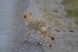 Coyote (10).jpg