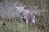 Coyote (5).jpg