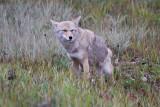 Coyote (6).jpg