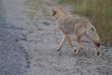 Coyote (9).jpg