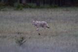 Coyote 6 (16).jpg