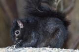 Black Squirrel (Gray Squirrel Subspecies