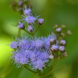 blue mistflower.jpg