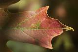 Sugar maple.jpg