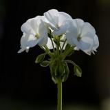 the last geranium2.jpg
