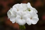 the last geranium3.jpg