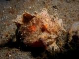 Harige Frogfish1.JPG