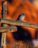 Bluebird on Fence