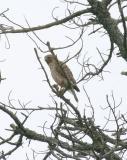 RS Hawk, female