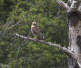 Female Red Shouldered Hawk
