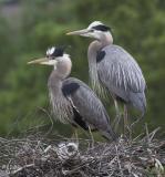 Hillsborough Crocker Lake Great Blue Herons 2006