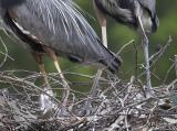 Chick looks at parents feet in Nest 2