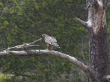 Male RS Hawk with Prey